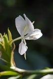 白色姜百合,一朵强烈的香水花 免版税库存照片