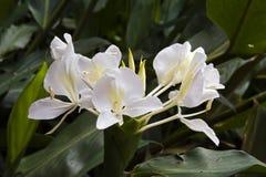 白色姜百合,一朵强烈的香水花 库存图片