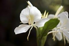 白色姜百合,它的香水的著名fower 库存图片