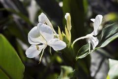 白色姜百合,它的香水的著名fower 库存照片