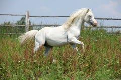白色威尔士山小马公马疾驰 库存图片