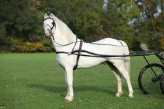 白色威尔士山小马身分 免版税库存图片