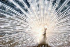 白色孔雀在庭院里 免版税图库摄影