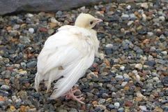 白色孔雀小鸡 免版税图库摄影