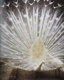 白色孔雀 库存图片