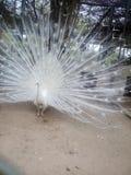 白色孔雀跳舞在森林 免版税库存图片