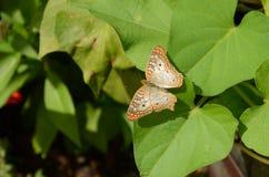 白色孔雀铗蝶在一个晴天 库存照片