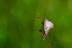 白色孔雀铗蝶 免版税库存图片