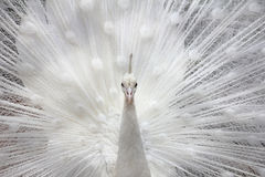 白色孔雀 图库摄影