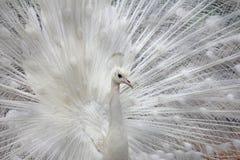 白色孔雀 免版税图库摄影