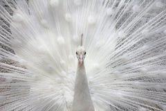 白色孔雀 免版税库存照片