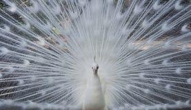 白色孔雀 免版税库存图片