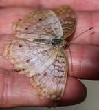 白色孔雀Anartia Jatrophae 库存图片