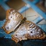 白色孔雀Anartia Jatrophae 免版税库存照片