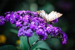 白色孔雀Anartia Jatrophae 免版税图库摄影