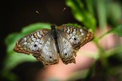 白色孔雀Anartia Jatrophae 图库摄影