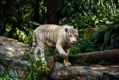 白色孟加拉老虎在新加坡动物园里 免版税库存图片