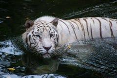 白色孟加拉老虎寻找得户外 免版税库存照片