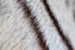 白色孟加拉老虎毛皮 免版税图库摄影