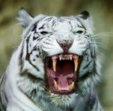 白色孟加拉老虎的咧嘴 最大和多数的面具 库存图片