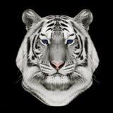 白色孟加拉老虎的面孔 免版税库存照片