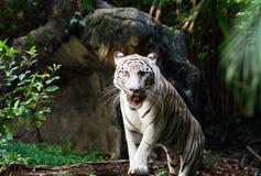 白色孟加拉老虎走 免版税库存图片