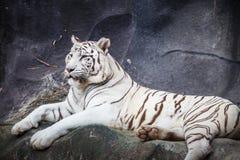 白色孟加拉老虎,说谎,放松和观看在峭壁 库存照片