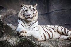 白色孟加拉老虎,说谎,放松和观看在峭壁 免版税图库摄影