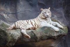 白色孟加拉老虎,说谎,放松和观看在峭壁 免版税库存照片