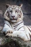 白色孟加拉老虎,说谎,放松和观看在峭壁 库存图片