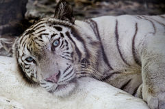 白色孟加拉老虎 免版税库存图片