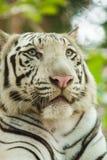 白色孟加拉老虎 免版税库存照片
