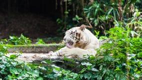 白色孟加拉老虎 库存图片