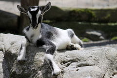 黑&白色孩子山羊 免版税图库摄影