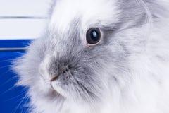 白色安哥拉猫兔宝宝 免版税库存照片