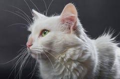 白色安哥拉猫猫03 免版税库存图片