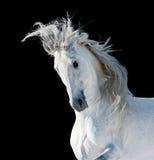 白色安达卢西亚的公马 库存图片
