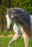 白色安达卢西亚的马画象在夏天 免版税库存照片