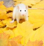 白色宠物鼠 库存照片