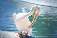 白色害羞的鹈鹕 免版税库存照片