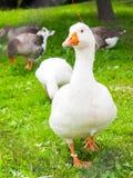 白色家养的鹅在草走 7个动物动画片农厂例证系列 库存图片