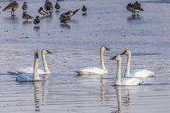白色寒带苔原天鹅群在水中 免版税库存图片