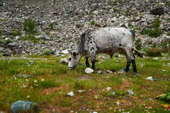 白色察觉了与掩没的颜色的公牛吃草在山的 库存图片
