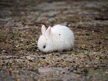 白色小兔子吃 库存图片