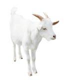 白色小山羊,隔绝在白色背景 免版税库存图片
