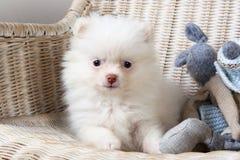 白色小狗在一把藤椅的Pomeranian 库存图片
