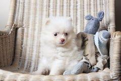 白色小狗在一把藤椅的Pomeranian 免版税库存图片