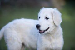 白色小狗 免版税库存图片
