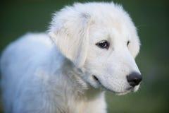 白色小狗 库存照片