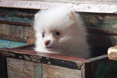 白色小狗Pomeranian在一个木架子坐在的flowersWhite小狗旁边篮子Pomeranian坐 免版税库存图片